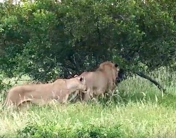 Grupa lwów rzuciła się na żyrafę. Zwierzak bronił się przez 5 całe godzin