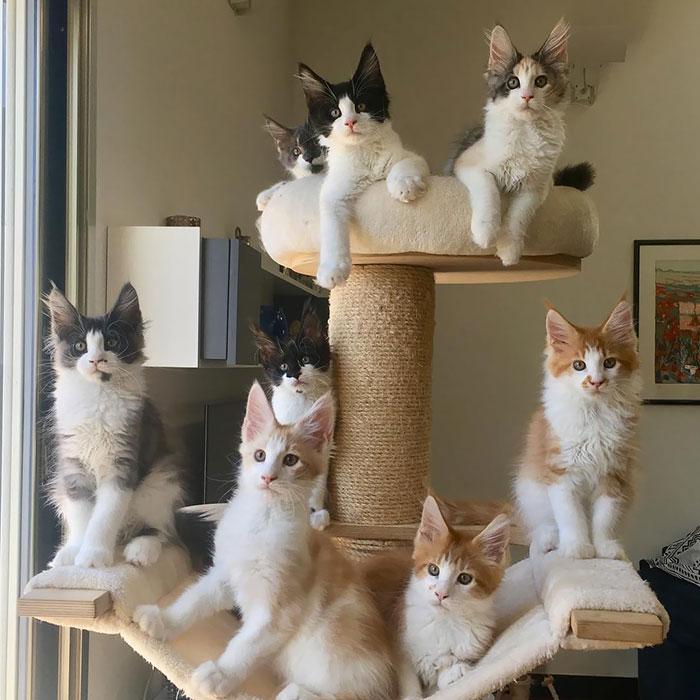 34 urocze kocięta rasy Maine Coon. Te maluchy wkrótce staną się prawdziwymi gigantami