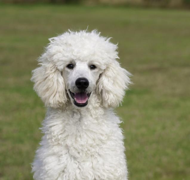 11 ras psów, które uwielbiają dramatyzować. Listę sporządzono na podstawie ankiety