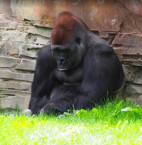 Mike Tyson chciał walczyć z gorylem. Zaoferował pracownikowi ZOO 9 tysięcy funtów