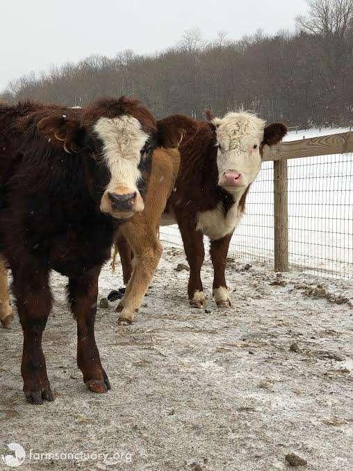 Krowa przez 3 tygodnie ukrywała się w mroźnym lesie. W ten sposób próbowała ocalić swoje życie