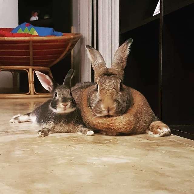 Mały królik ma obsesję na punkcie swojej ogromnej dziewczyny. Jest 4 razy większa od niego