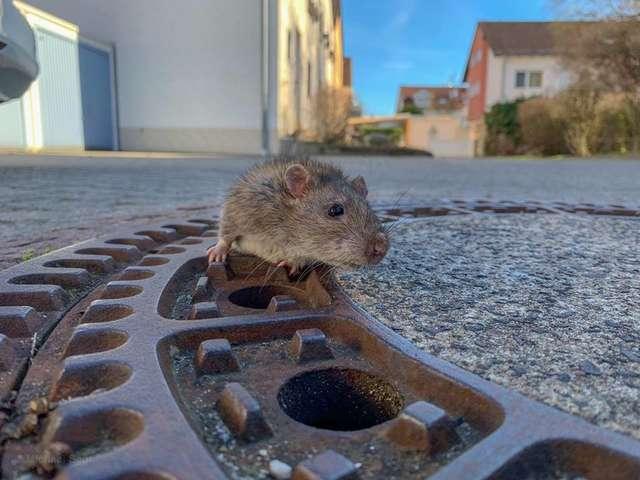 Szczur utknął w kanalizacji i desperacko walczył o życie