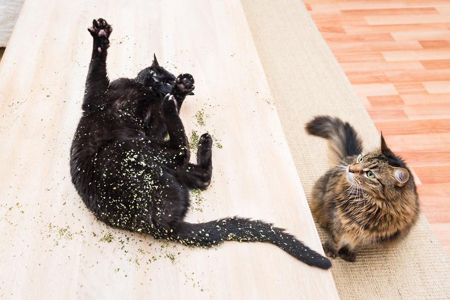 19 kotów po przyjęciu kocimiętki. Te zdjęcia są przezabawne!