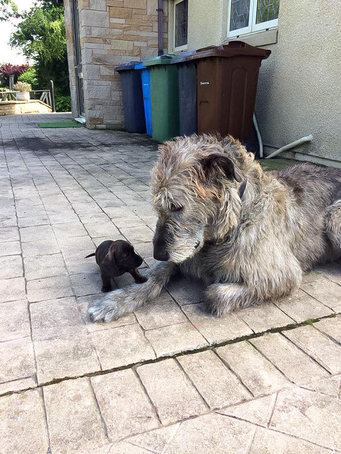 20 zdjęć pokazujących, jak piękne i ogromne są wilczarze irlandzkie. Te psy robią wrażenie!