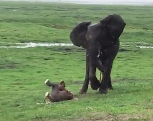 Turyści są zdumieni, gdy słonica zaczyna rodzić na środku safari. Instynkt wziął górę!