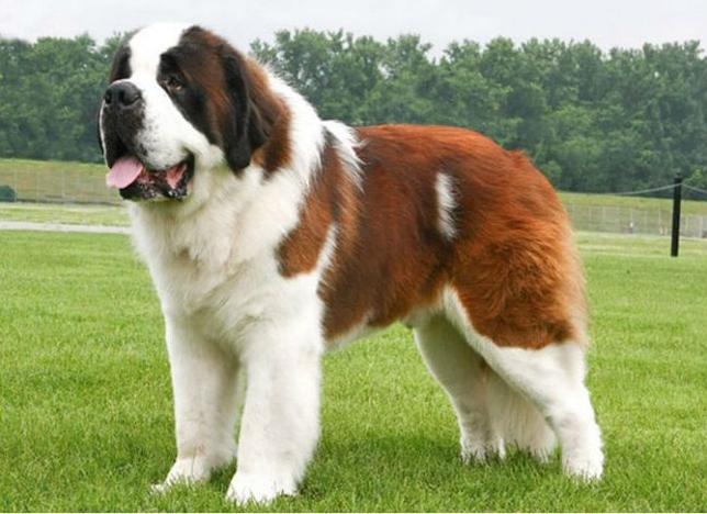 Największe psy świata - bernardyn