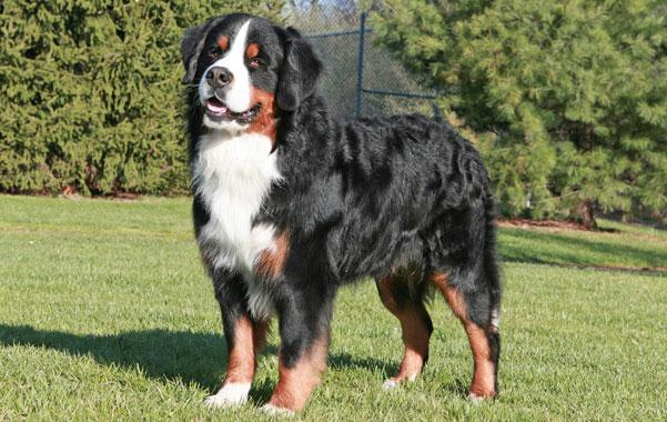 Największe psy świata - berneński pies pasterski