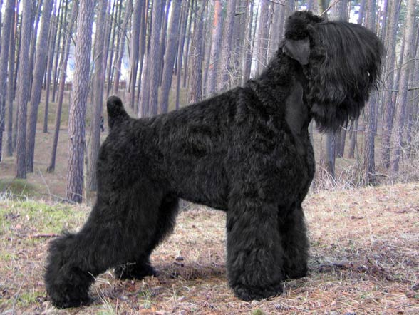 Największe psy świata - czarny terier rosyjski
