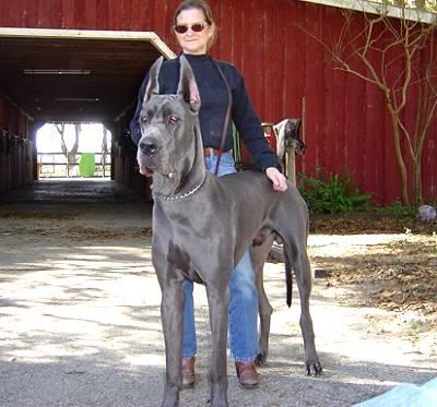 Największe psy świata - dog niemiecki