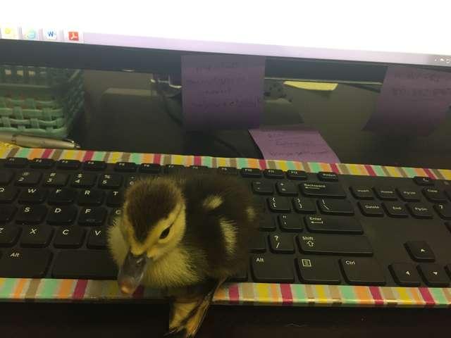Najsłodsza reakcja kaczki na powrót swojej opiekunki. Ona zachowuje się zupełnie jak pies!