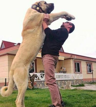 Największe psy świata - kangal