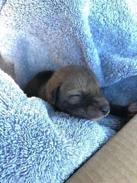 Mały kojot