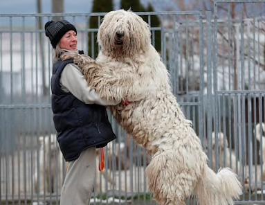 Największe psy świata - komondor