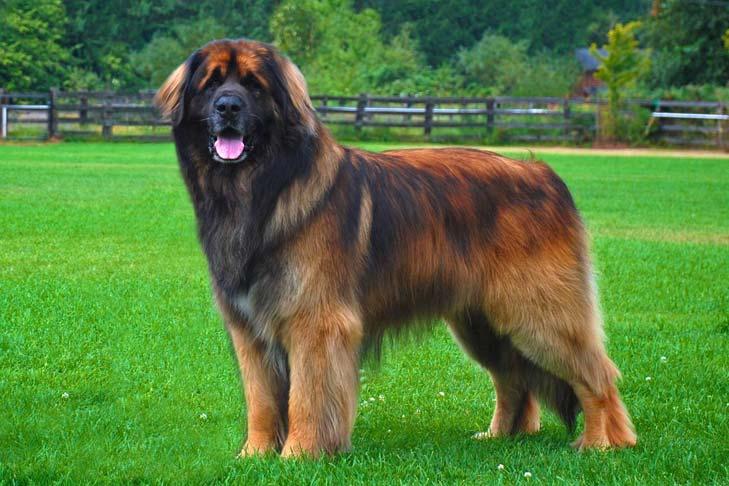 Największe psy świata - leonberger