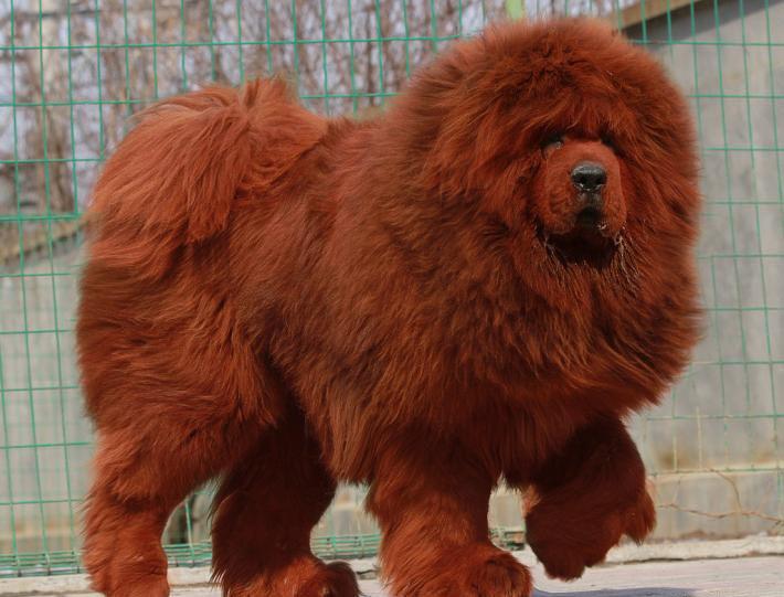 Największe psy świata - mastif tybetański