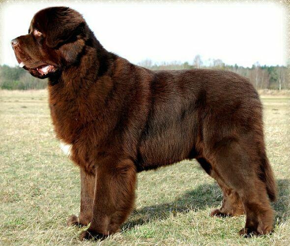 Największe psy świata - nowofundland