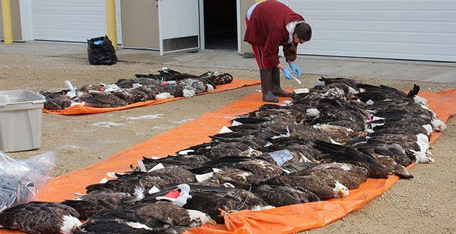 Na jaw wyszła przyczyna nagłej śmierci orła z Parku Yellowstone. Można było tego uniknąć…