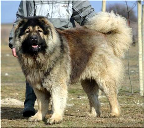 Największe psy świata - owczarek kaukaski