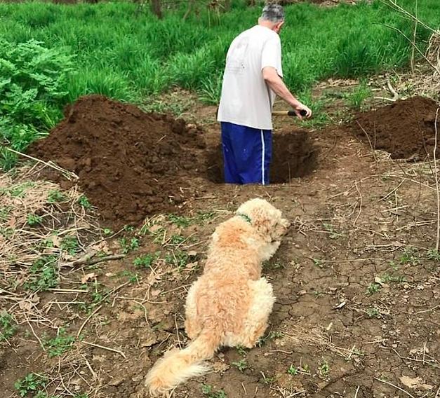 Kopie grób dla swojego psa, podczas gdy czworonóg wszystko obserwuje. Przerażający widok!