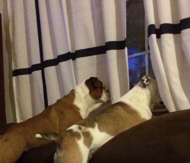 Dwa psy patrzą przez okno