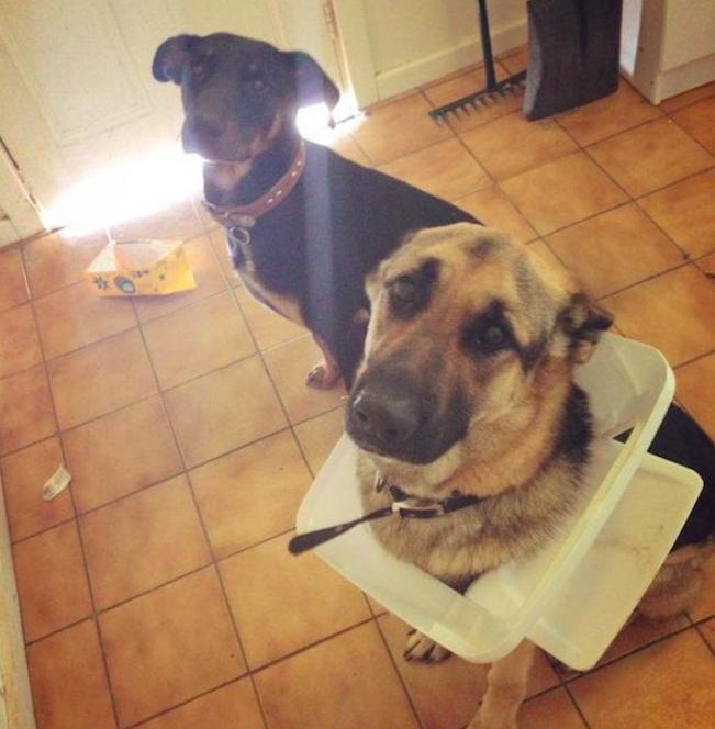Owczarek niemiecki i pies