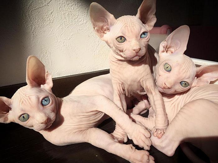 Łyse koty