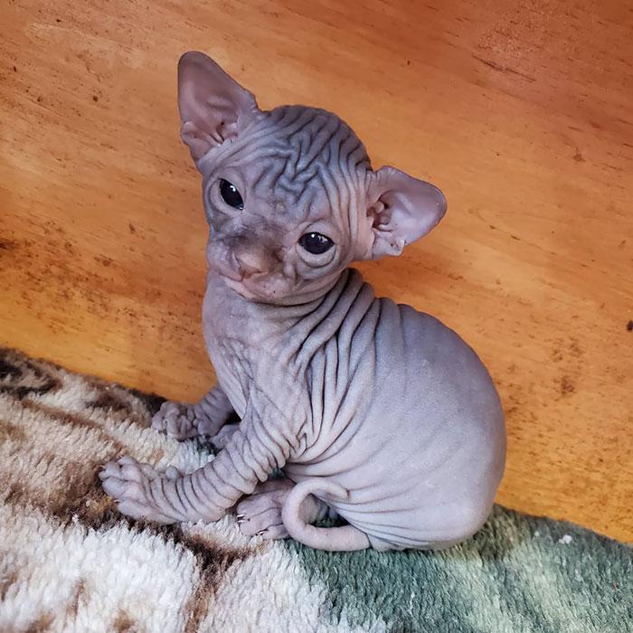 Bezwłosy kot