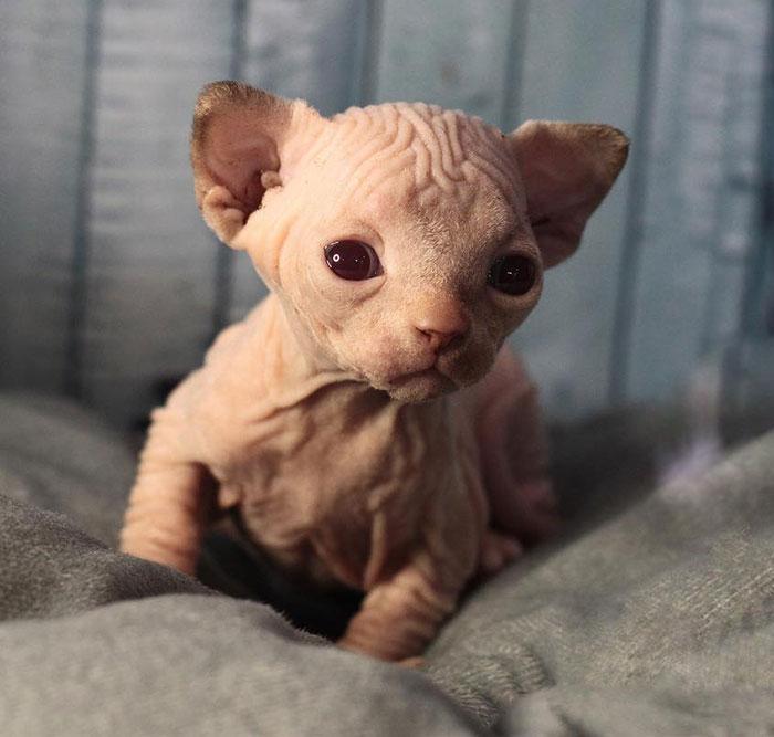 Mały sfinks