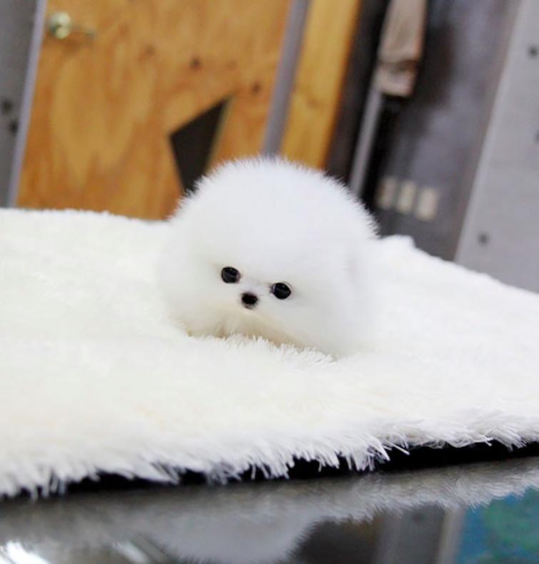 Szpic miniaturowy szczeniak