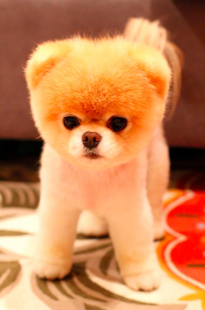 Pomeranian szczeniak