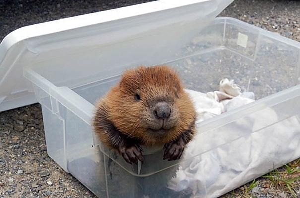 Słodkie zdjęcia bobrów