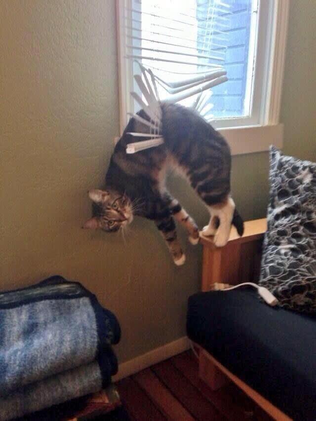 Śmieszne koty, kot utknął w żaluzjach
