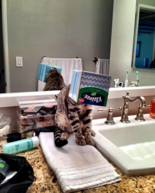 Śmieszne koty, kot i pudełko chusteczek