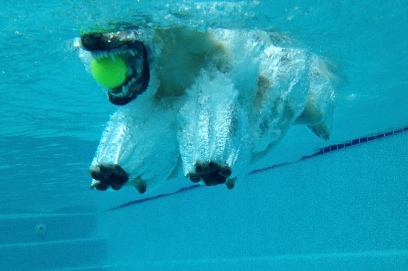 Labrador w wodzie