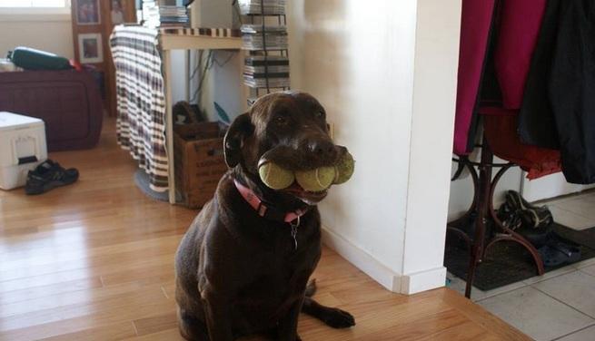 Labrador i piłki tenisowe
