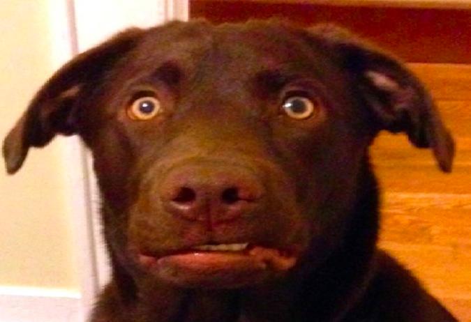 Śmieszny labrador