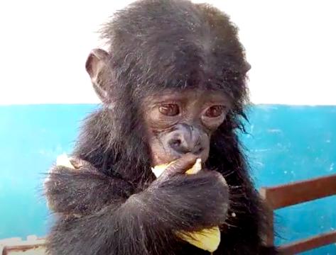 Szympans karłowaty