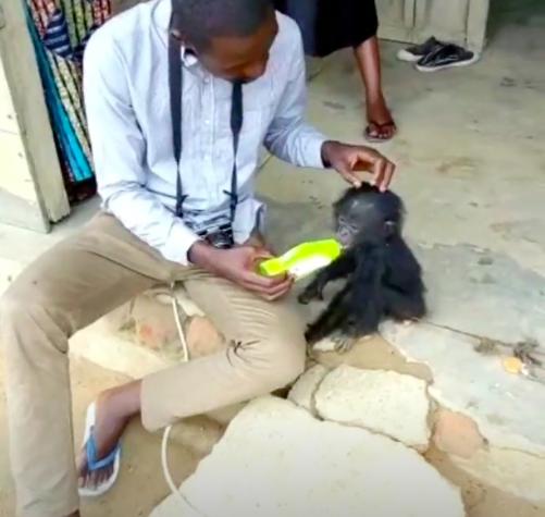 Karmienie małego szympansa
