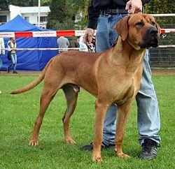 Największe psy świata - tosa