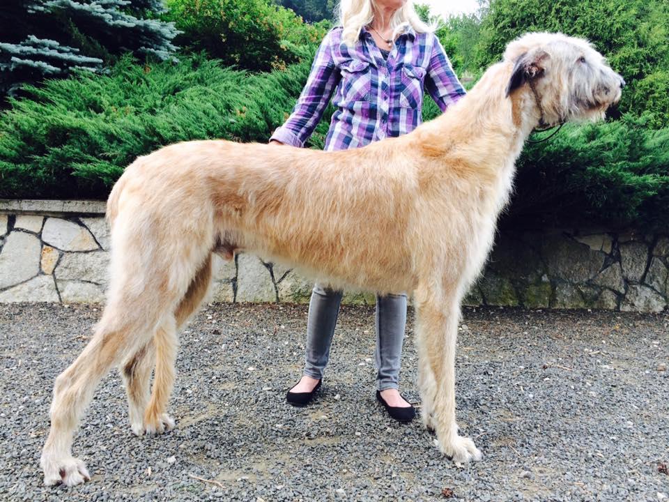 Największe psy świata - wilczarz irlandzki
