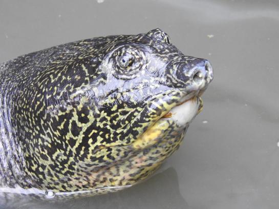 Żółwiak szanghajski