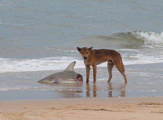 Dingo australijski i rekin