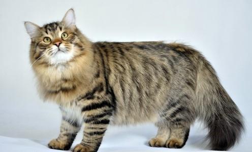 Duże koty, kot syberyjski