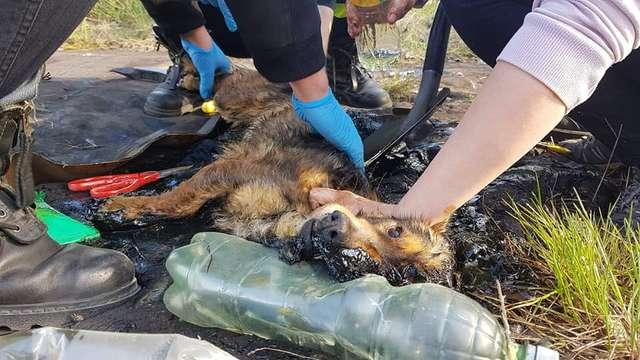Leżał w kałuży smoły i desperacko błagał o pomoc. Biedny pies był w strasznej pułapce