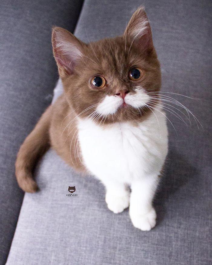 Poznaj Gringo – kota, który skrada serca. Wszystko przez jego majestatyczne wąsy!