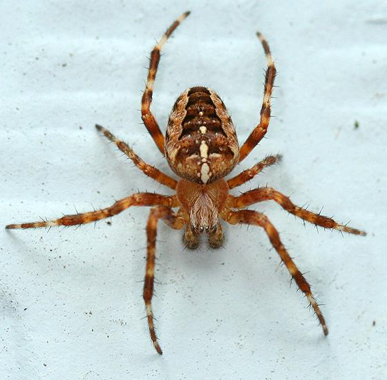 Jadowite pająki w Polsce, krzyżak ogrodowy