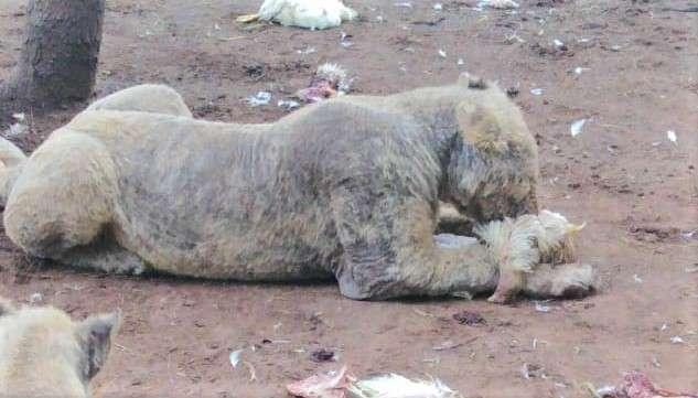Zdjęcia zza kulis pokazują, jak wygląda życie lwów na farmie. Dane są jeszcze gorsze…