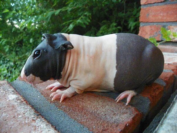 Ludzie mylą te zwierzaki z maleńkimi hipopotamami. Ich zdjęcia robią furorę