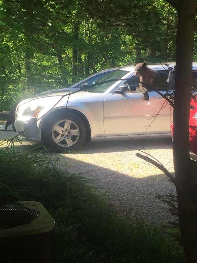 Zapomniał zasunąć szyb w samochodzie. Po powrocie znalazł w nim rodzinę niedźwiedzi
